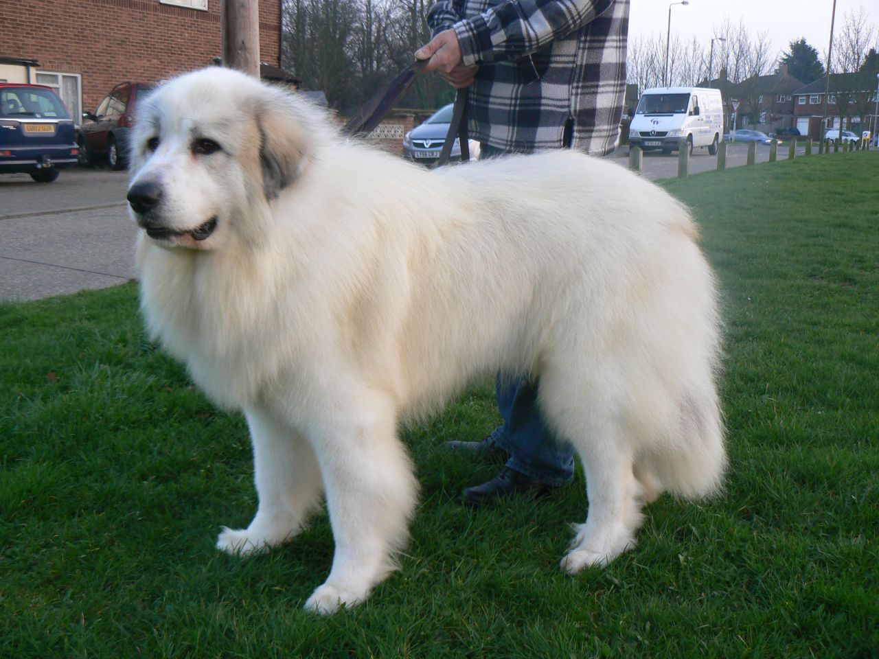 Pyrenean Mountain Dog At Stud Mountain Dogs Dogs Top Dog Breeds