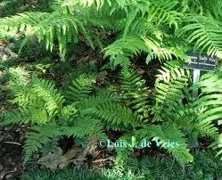 Fern Gardens Shade Plants Ferns Garden Shade Garden