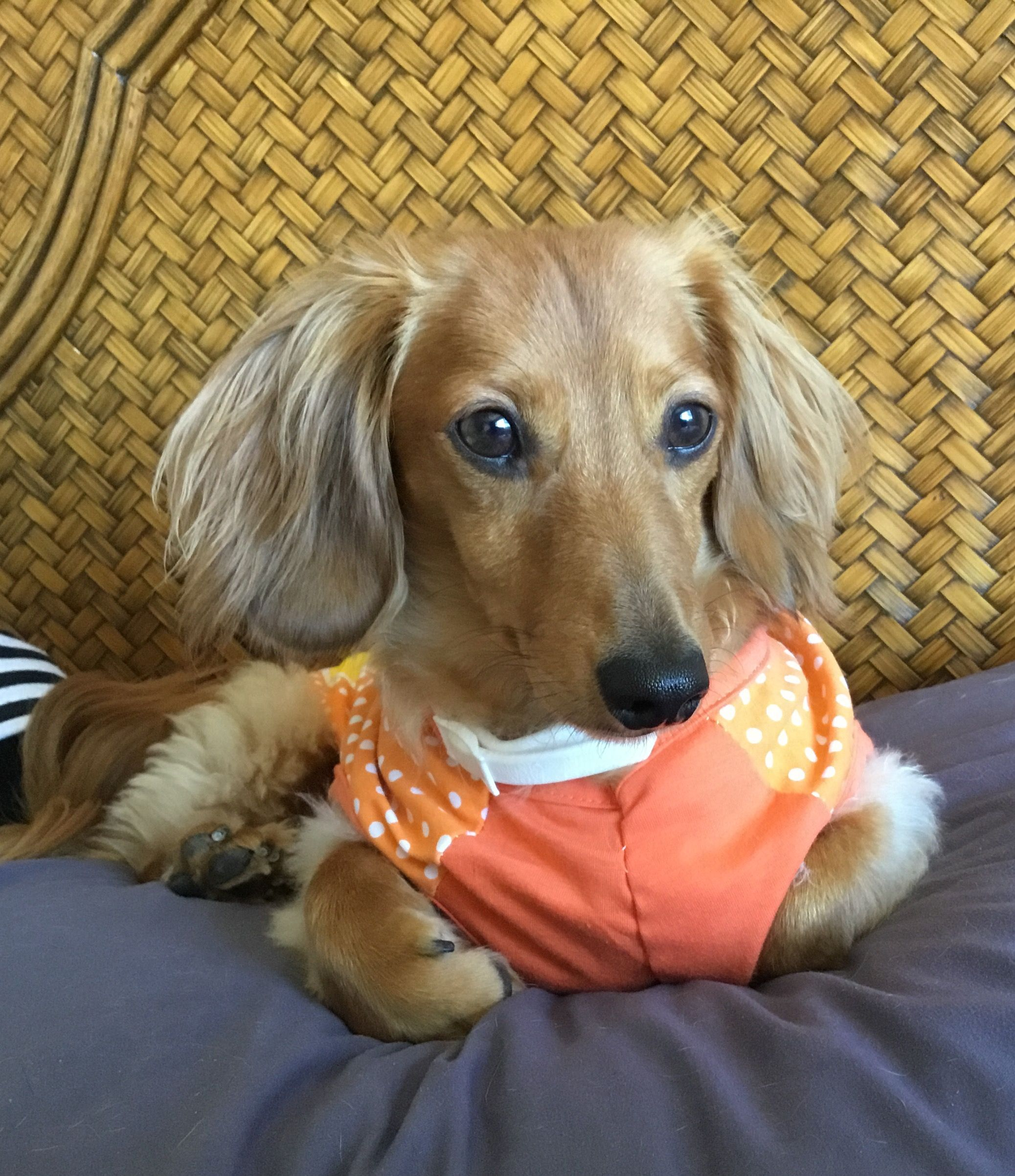 Benny hopper my long haired dachshund dachshund pinterest
