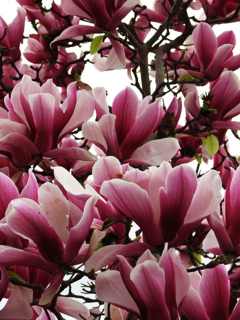 Magnolia Magnolia Liliflora Flor De Magnolia Flores Bonitas Magnolia