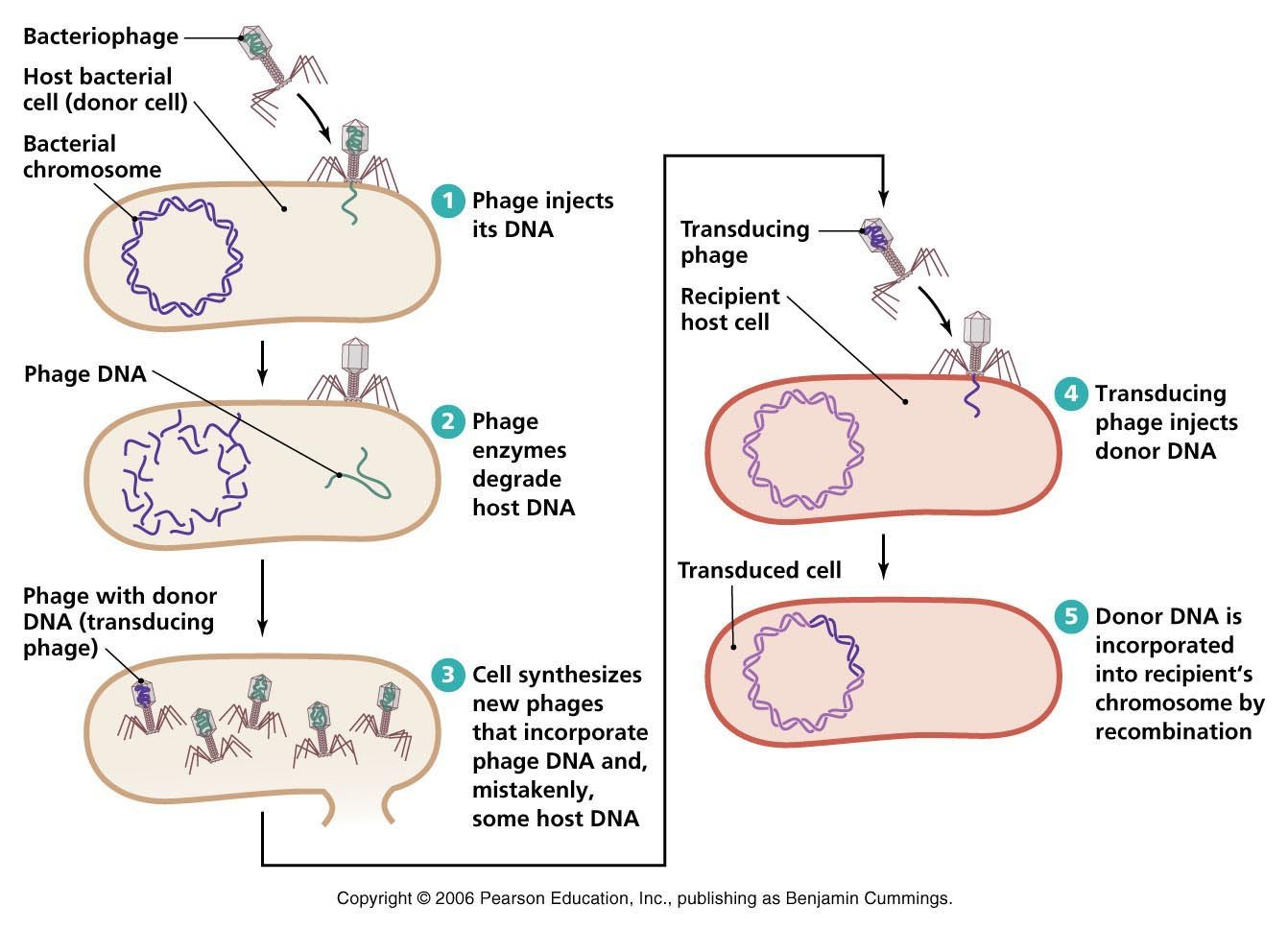 Biology Pictures Bacterial Transduction