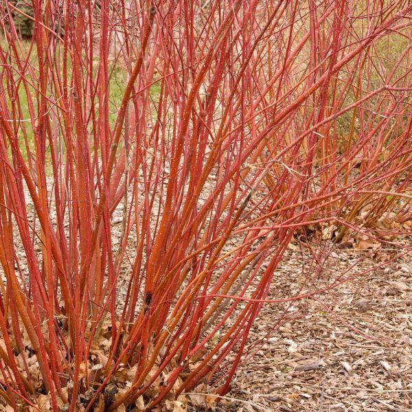 Bailey Red Twigged Dogwood Red twig dogwood, Twig
