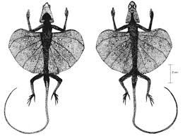 Image result for Flying Dragons or Draco Lizards