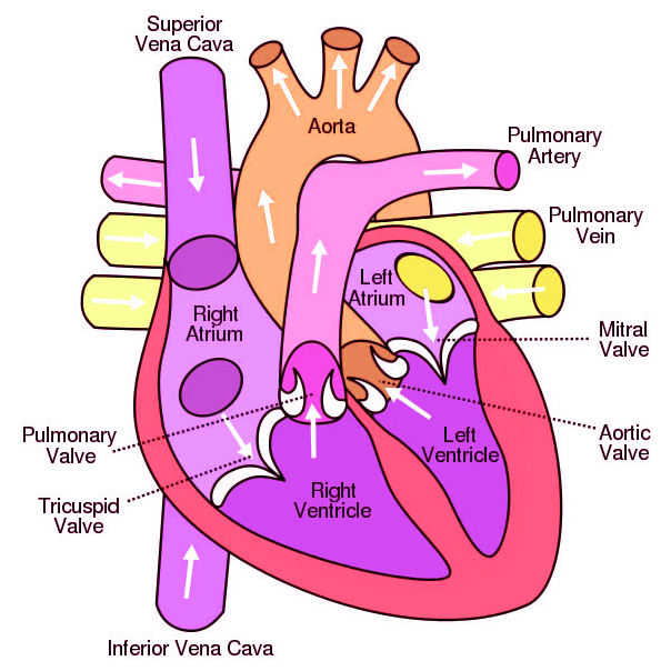 Image result for diagrams of biology desktop pinterest image result for diagrams of biology human heart diagramhealthy ccuart Images