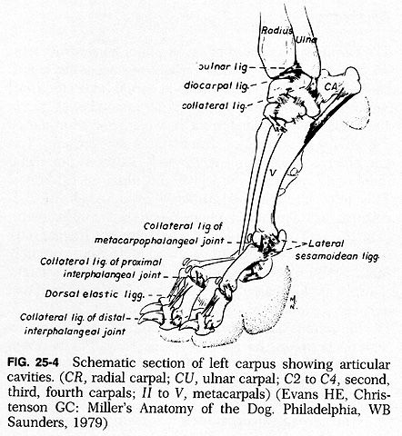 Dog Leg Skeletal Anatomy | FRACTURE AND DISLOCATION OF THE CARPUS ...