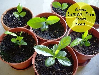 how to grow a lemon tree from seed http amazingdiyideas