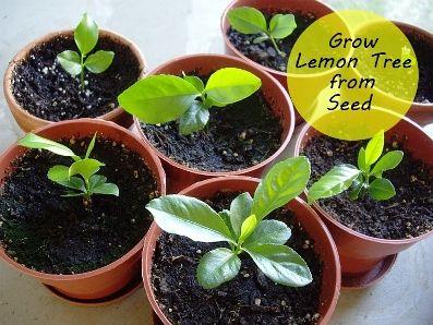 How To Grow A Lemon Tree From Seed Growing Lemon Trees Lemon