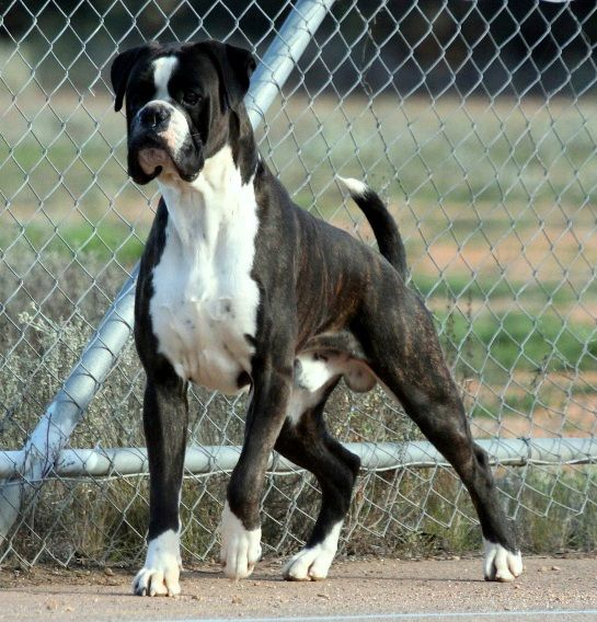Kriscross Boxers South Australia Boxer dogs facts