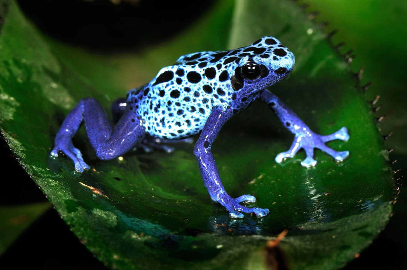 a blue poison dart frog from surinam the colourful amphibian is