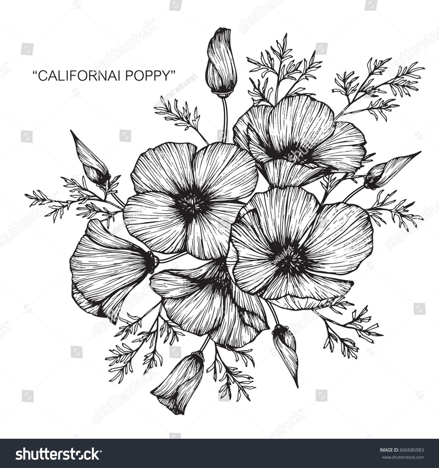 Bouquet Of California Poppy Flowers Drawing And Sketch With Line Art