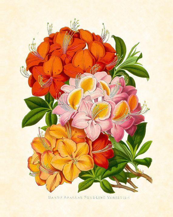 Antique Botanical Art Print Magazine of Botany by BelleBotanica