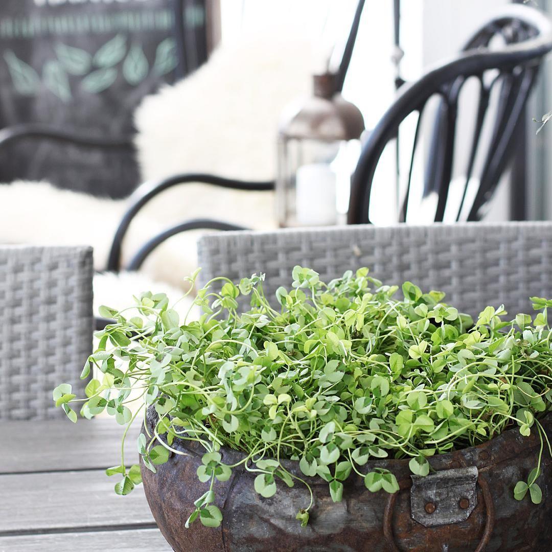 Yksi apila vielä  #apila #koristeapila #clover #trifolium #trifoliumrepens #flowersofinstagram #instaflowers #flowerstagram #igflowers #floweraddict #floral_perfection #instagardeners_feature