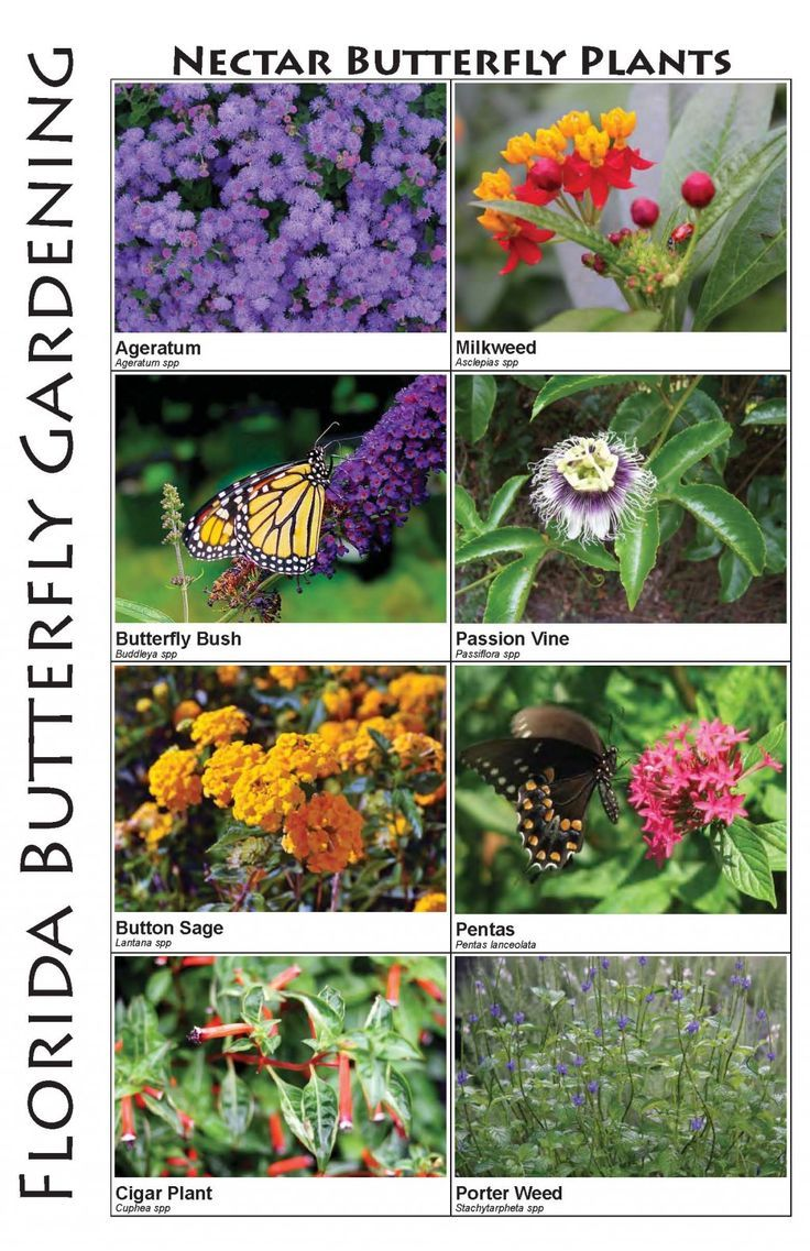 Butterflies Butterfly Plants Of Central Florida   Gardening Senses