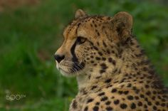 Cheetah Profile - A gorgeous Cheetah watching something in the distance