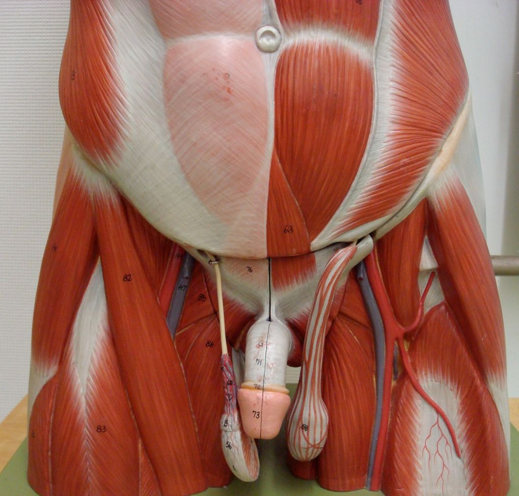 medium resolution of anatomy male groin anatomy male groin anatomy of groin muscles muscles of groin in the