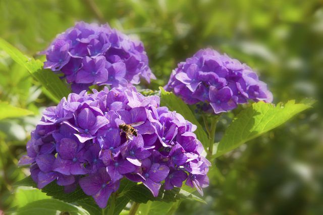You Can Change The Blossoms Of Hydrangeas Hydrangea Spp From Pink To Blue By Increasing Acidity Soil While Adding Coffee Grounds May Reduce