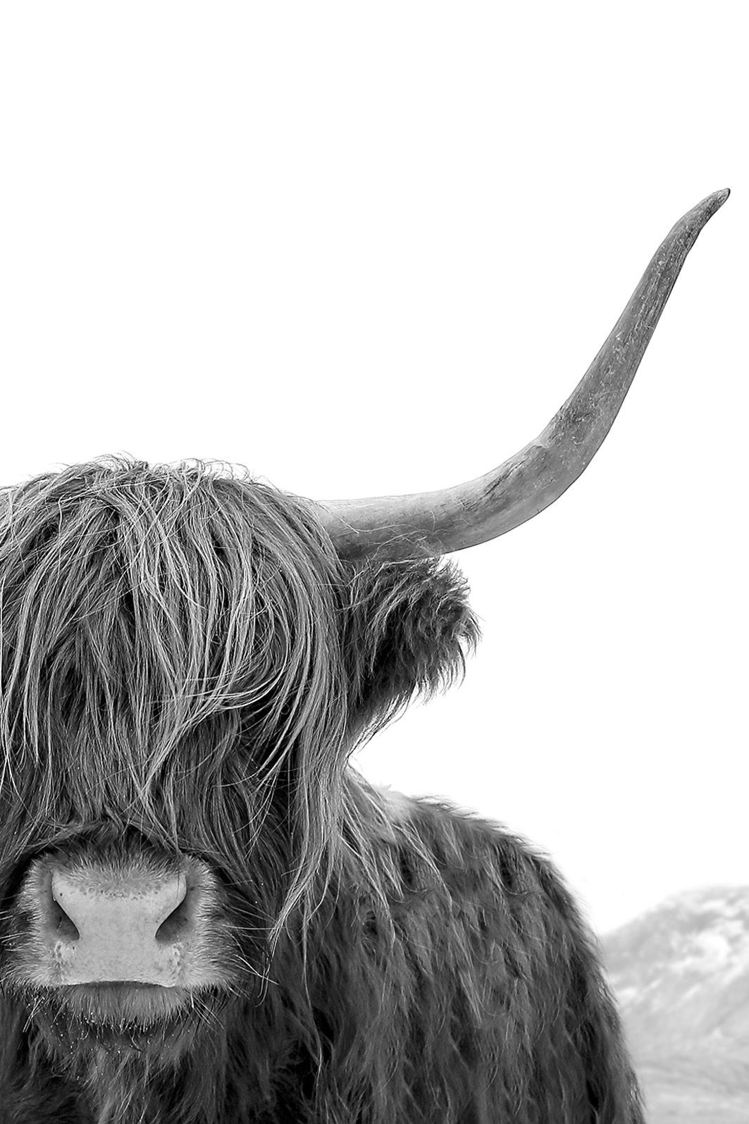 Highland cow art black and white print animal photography