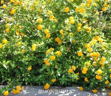 New Gold Lantana Monrovia New Gold Lantana Lantana Lawn And Landscape Monrovia Plants