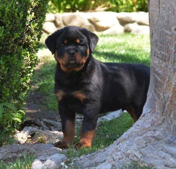 Let S Play Hide And Seek Start Counting German Rottweiler