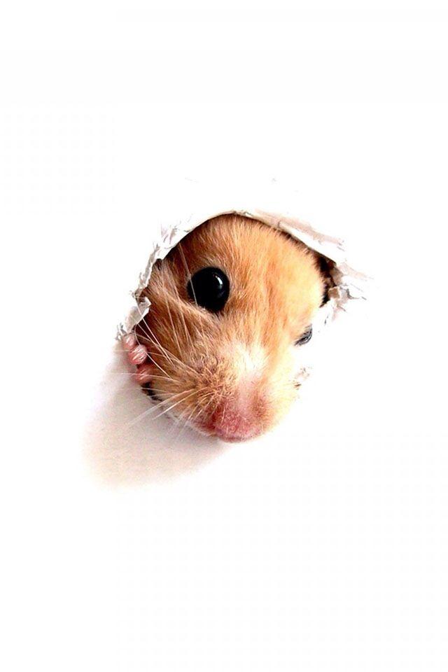 Cute Hamster Wallpaper Hamster Winter Hd Litle Pups 1600 1200 Cute Hamster Wallpapers 44 Wallpapers Adorable Wal Funny Hamsters Cute Hamsters Baby Hamster