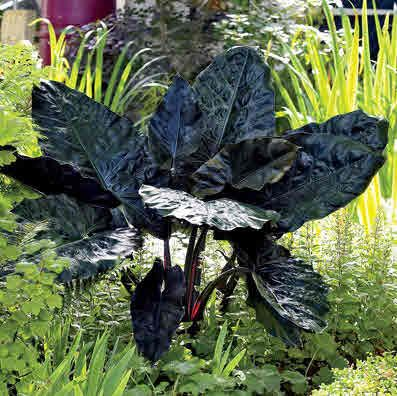 """Alocasia, Black Metallic.  This great upright elephant ear has a metallic sheen to its large leaves that can measure up to 24"""" across. The impressive plant grows 3-5' tal"""