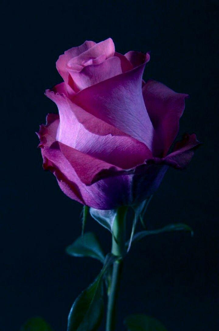 Pinterest Beautiful Rose Flowers Beautiful Roses Love Flowers