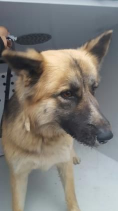 Petango Com Meet Shasta 5y German Shepherd Mix Available For