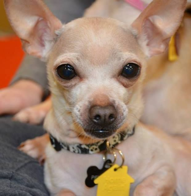 Meet Peter Pan A Petfinder Adoptable Chihuahua Dog Boston Ma