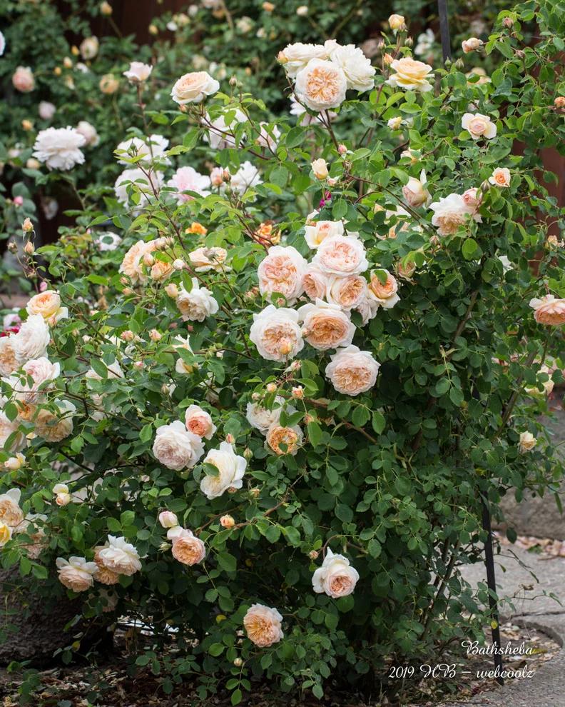 Bathsheba A David Austin Rose David Austin Roses Climbing Roses Rare Flowers