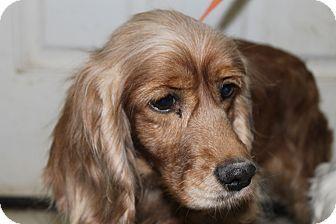 Milwaukee Wi Cocker Spaniel Meet Caramel A Dog For Adoption Dog Adoption Cocker Spaniel Spaniel