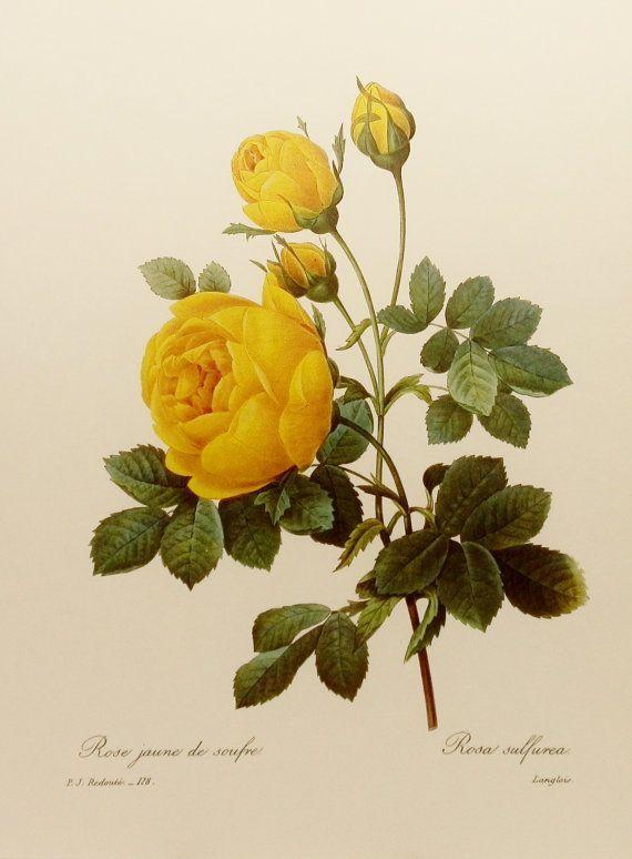 Yellow Rose Botanical Illustration Botanical Illustration