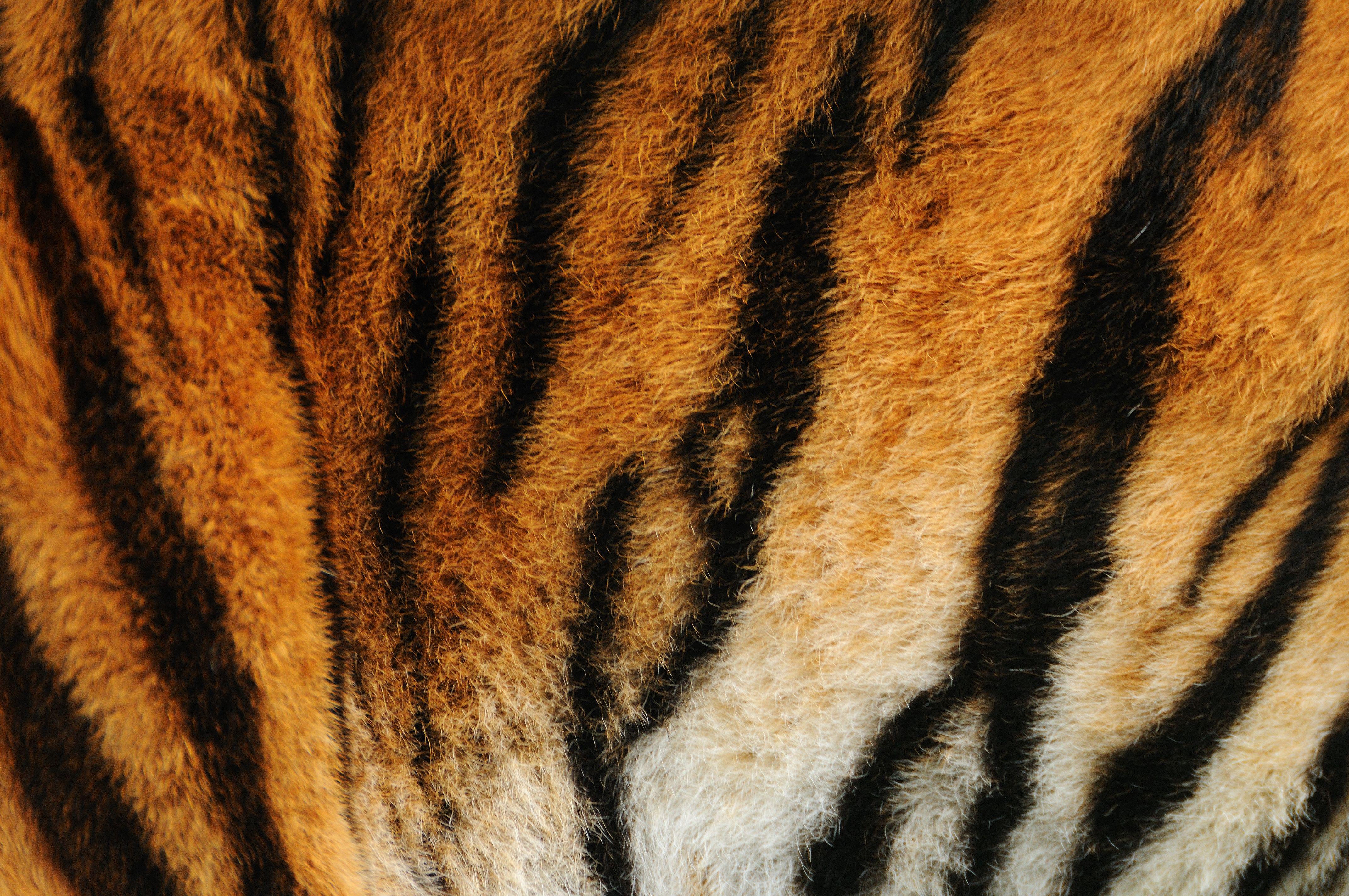 Tiger Print Print Wallpaper Animal Print Wallpaper