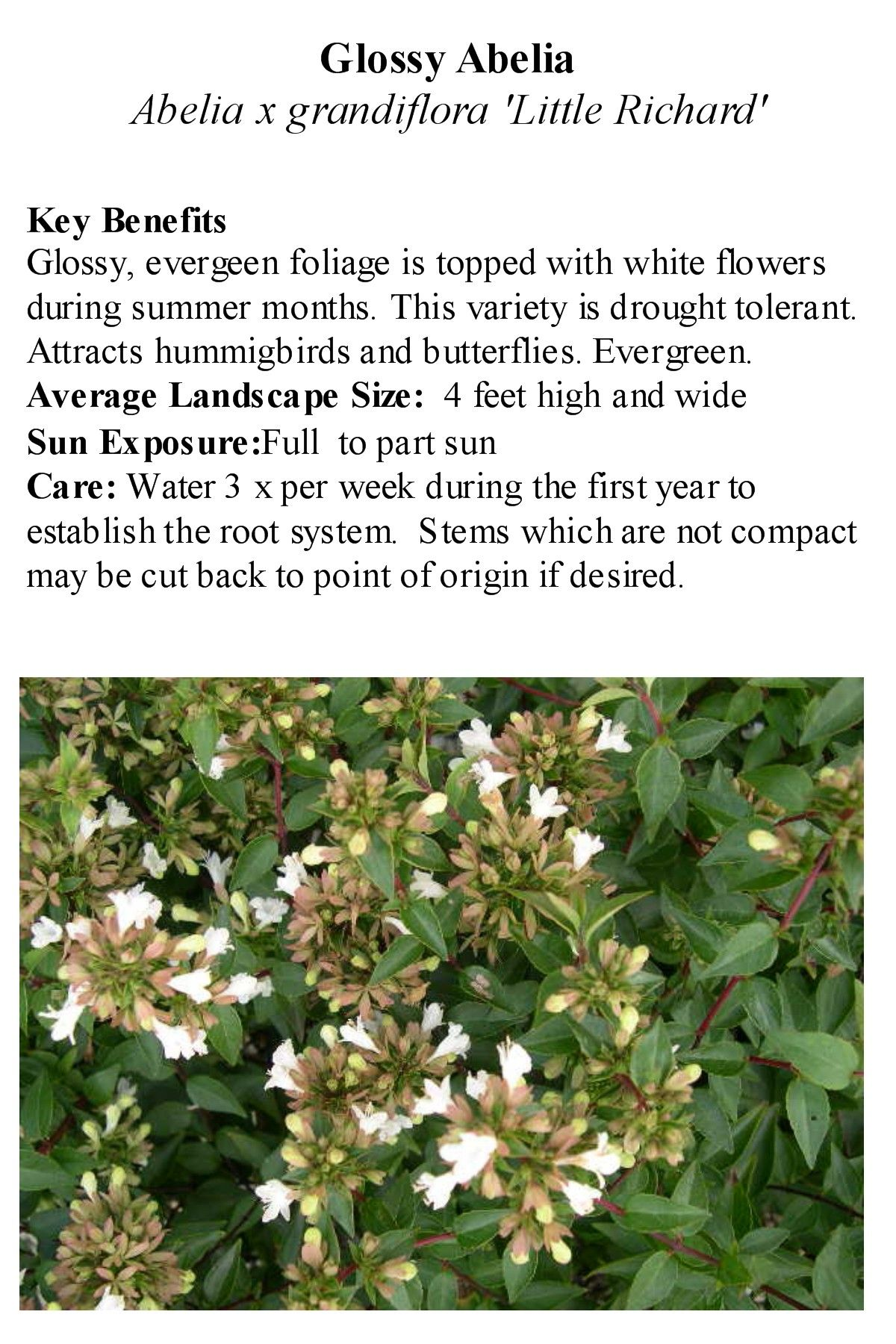 Little Richard Abelia Border In Front Of Porch Naturalized