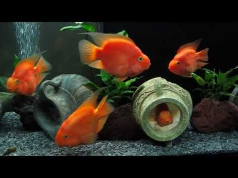 Cichlasoma Red Parrot Cichlid And Tylomelania Youtube Parrot Fish Cichlids Parrot