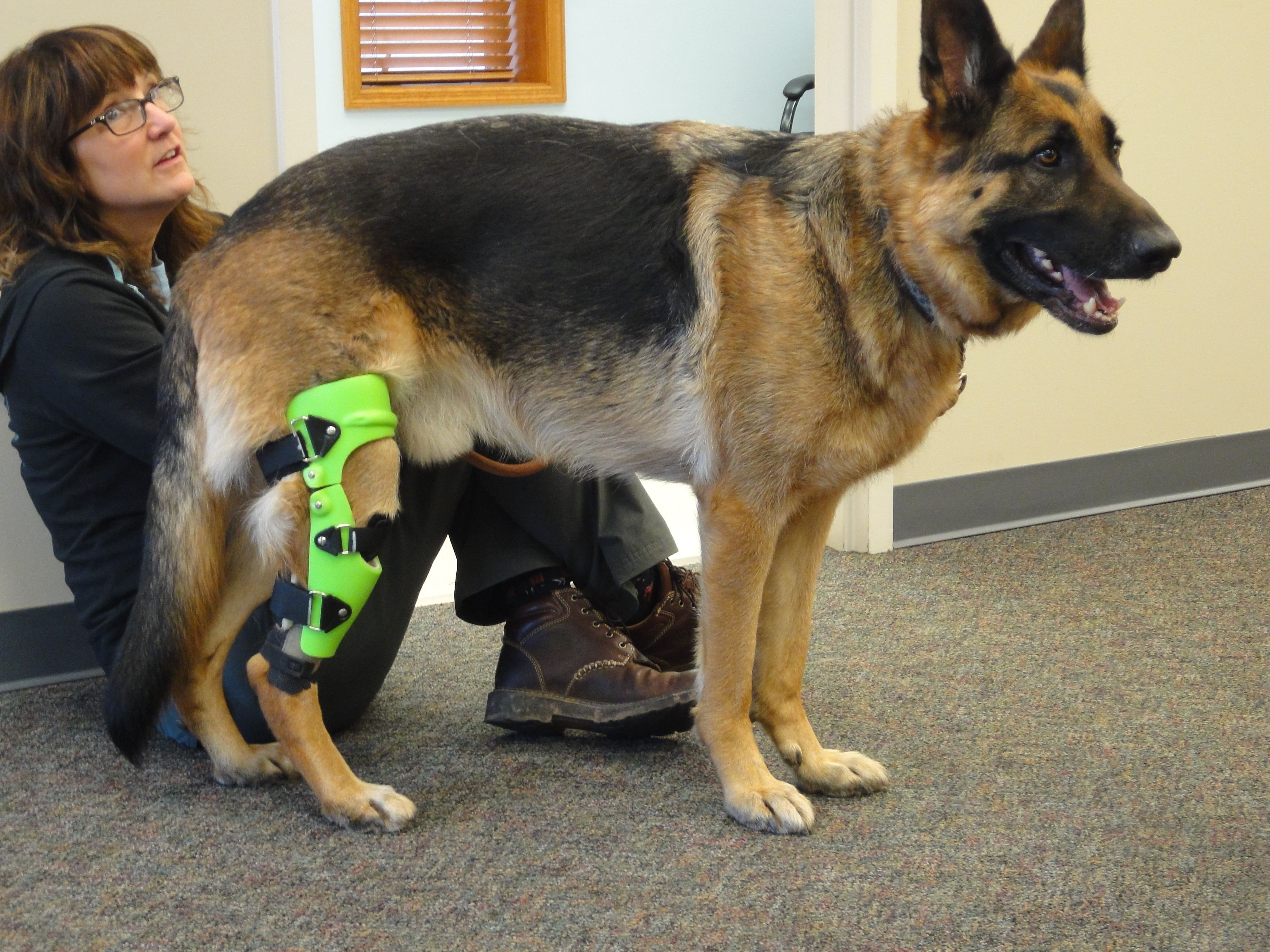 Acl Brace Instead Of Surgery Dog Braces Dogs Teddy Bear Puppies