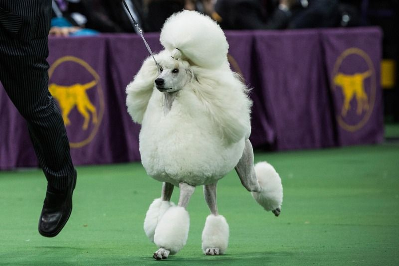 The Dog Show Drinking Game You Ve Been Waiting For Westminster