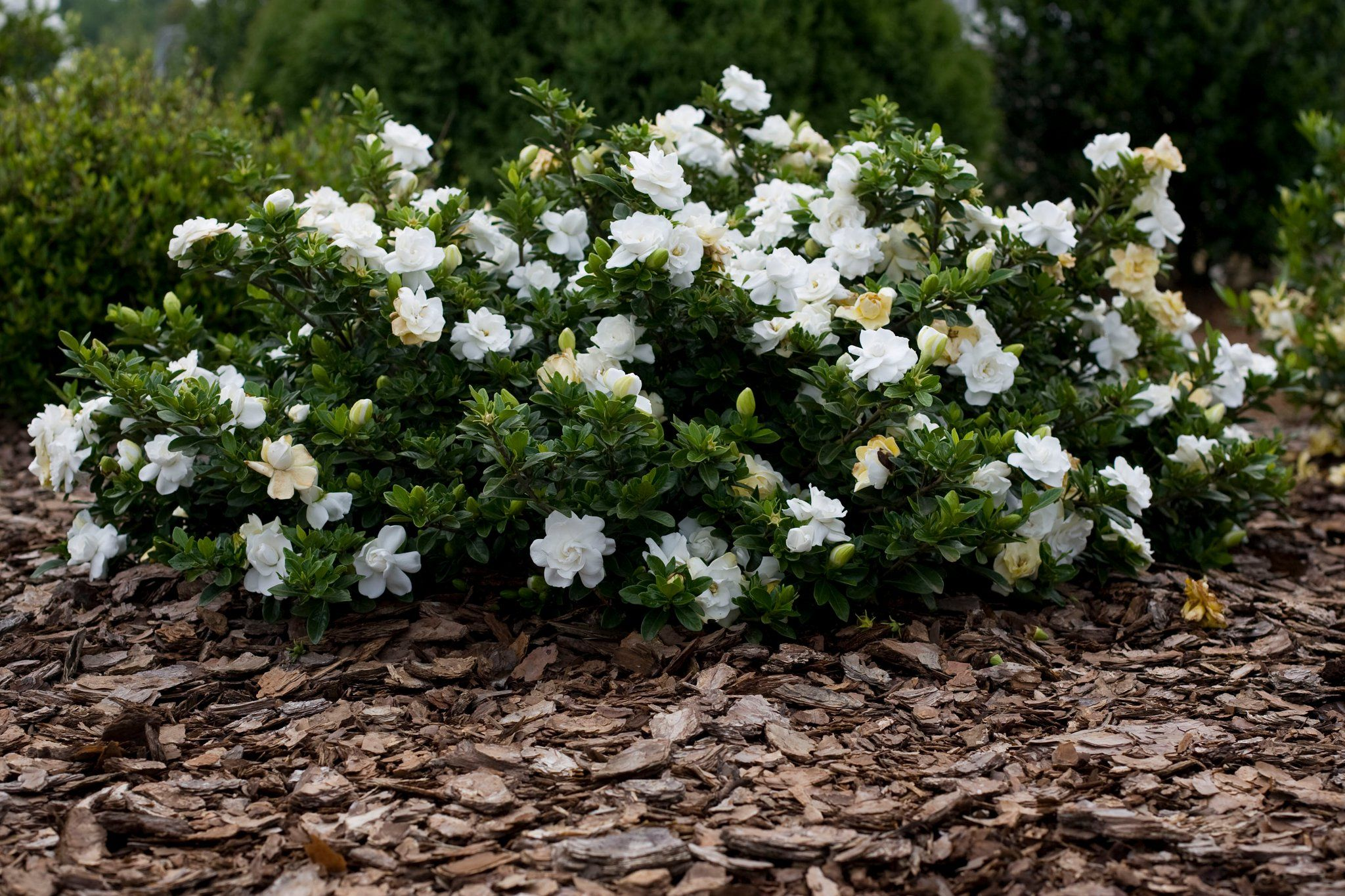 Dwarf Gardenia Radicans Frost Proof White Flowering Shrubs Flowering Shrubs Fall Landscaping Front Yard