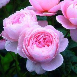 Rosier Anglais Queen Of Sweden Austiger Avec Images Roses