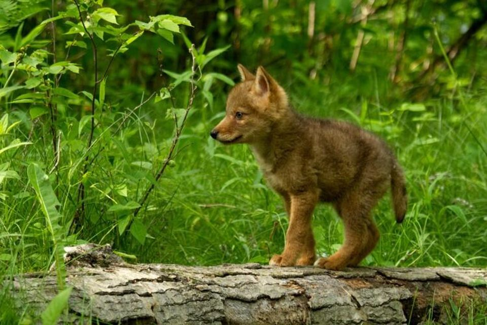 Baby coyote   Wildlife Photograghy   Pinterest