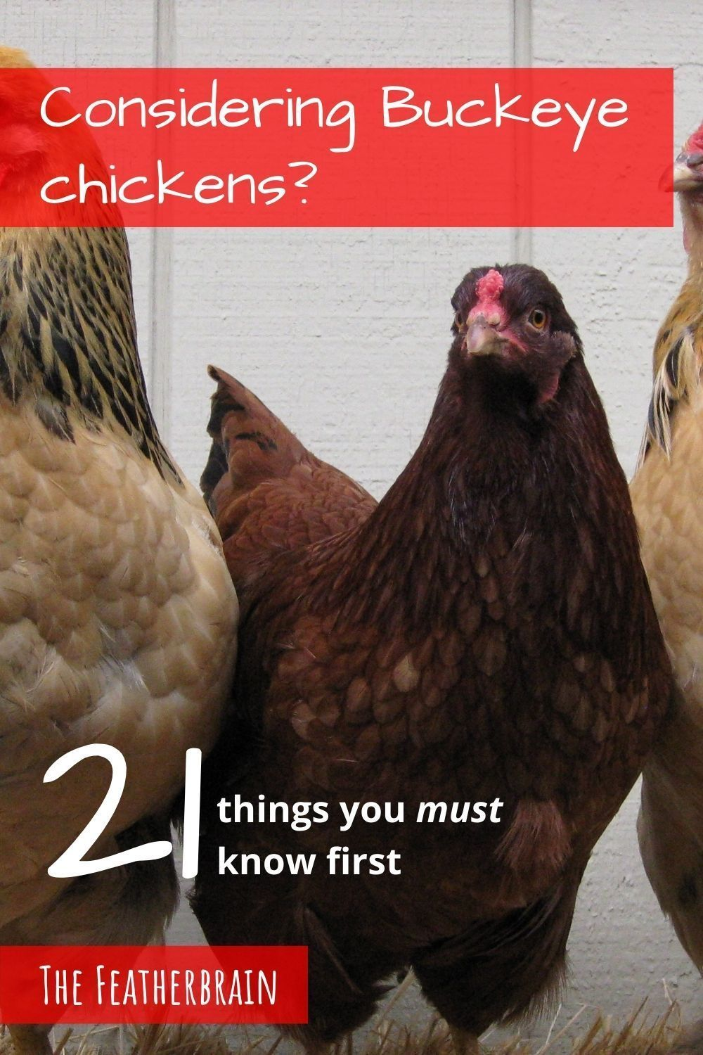 Buckeye chickens: Everything you need to know