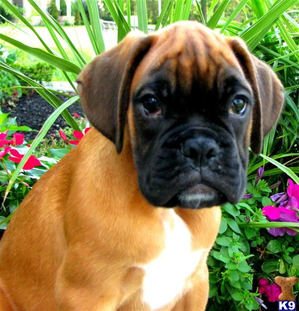 Looks just like Our Baby!!!! Xoxo Such Beauty!! Boxer