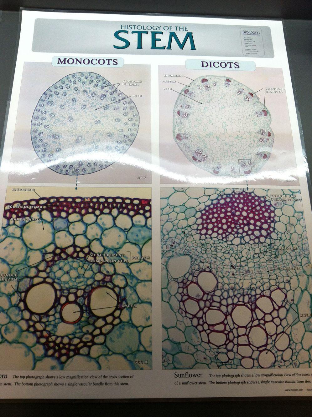 Monocot Dicot Plant Stem Cells Tissue Biology Cord