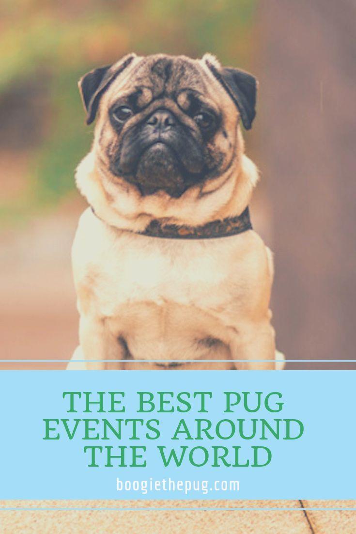 Pug Events Around The World Pug Stuff Pugs Around The Worlds