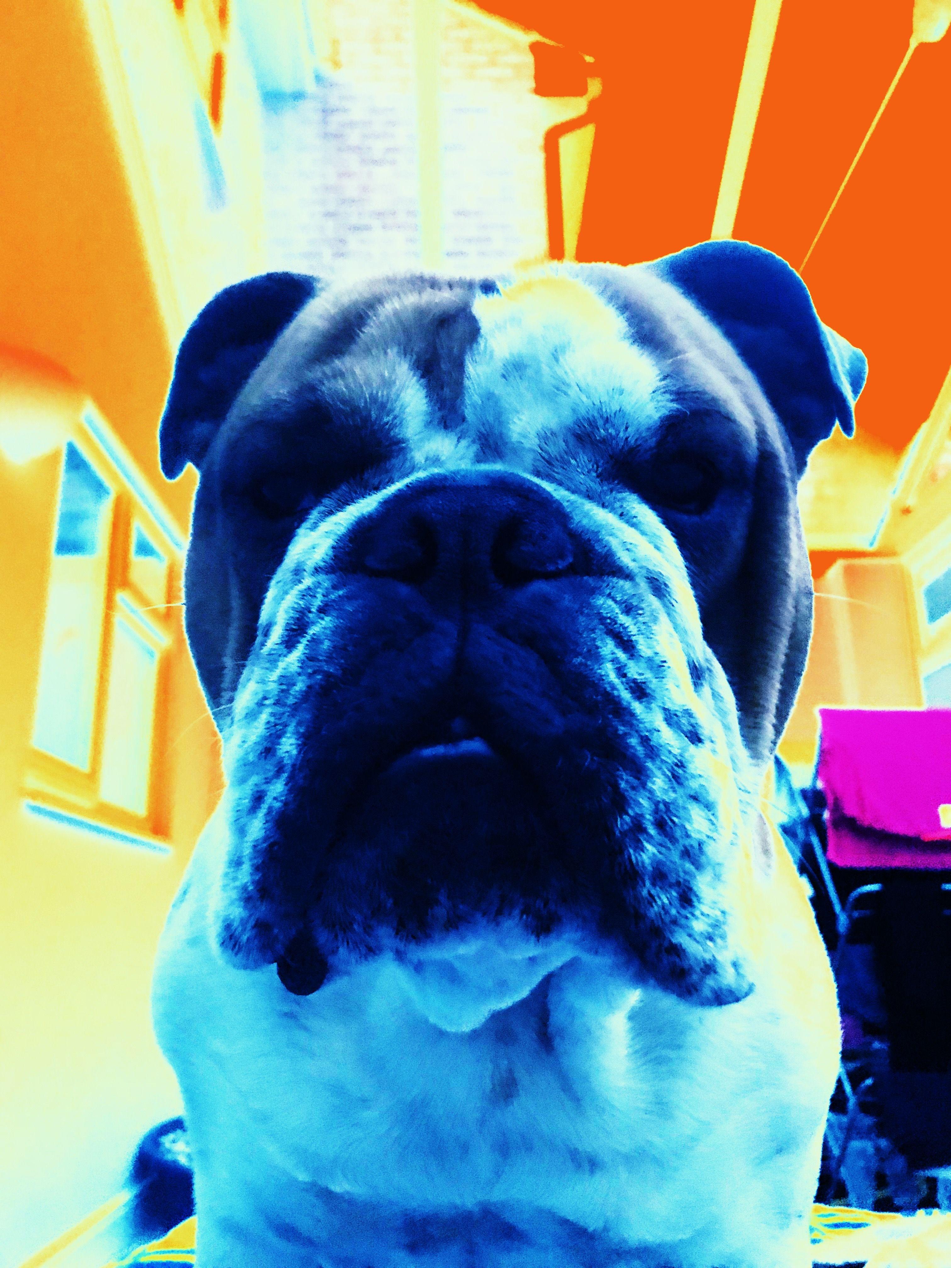 Pin By On Dogs English Bulldog Bulldog French Bulldog