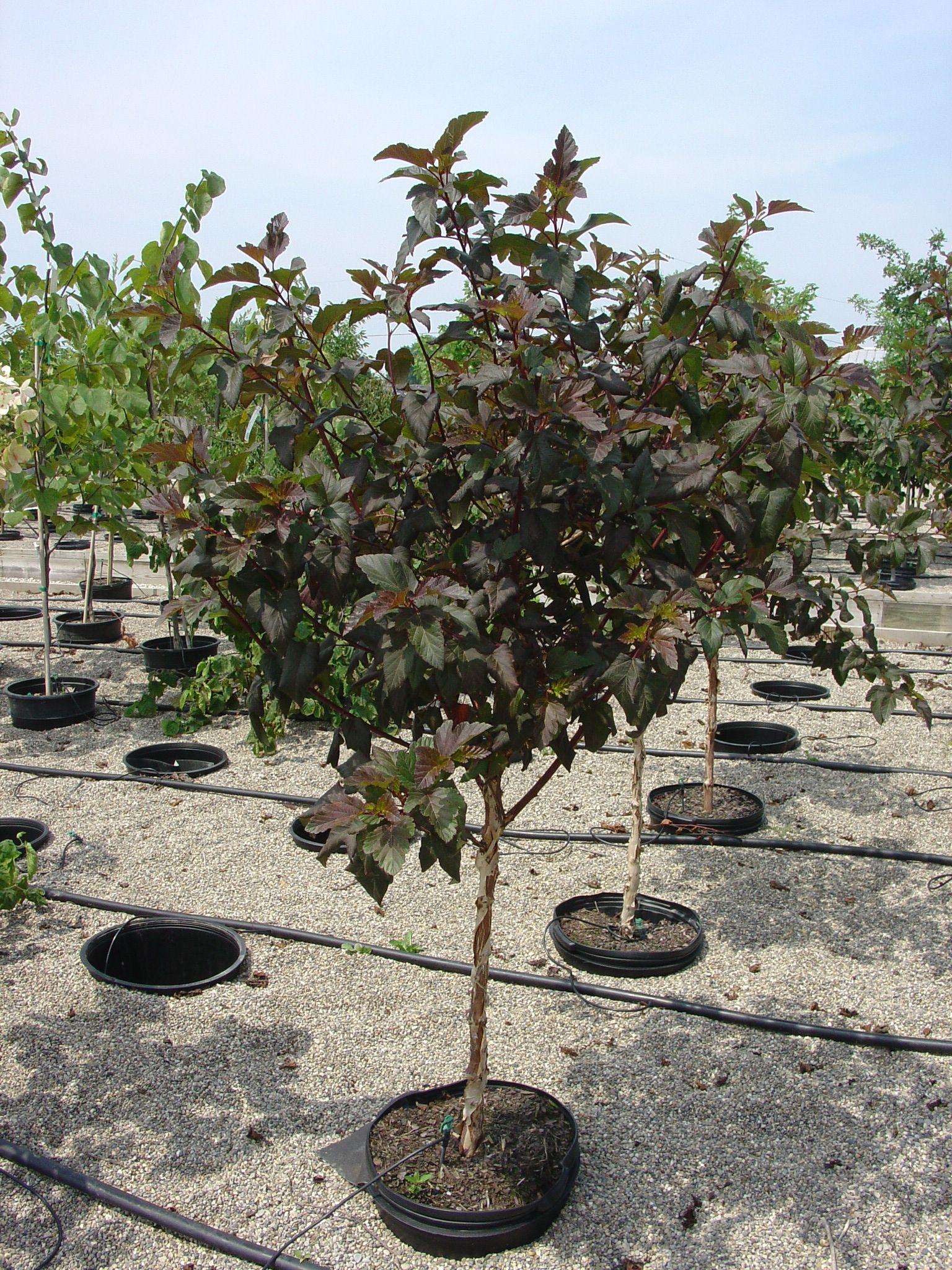 U0027Diabolou0027 Ninebark As Small Patio Tree