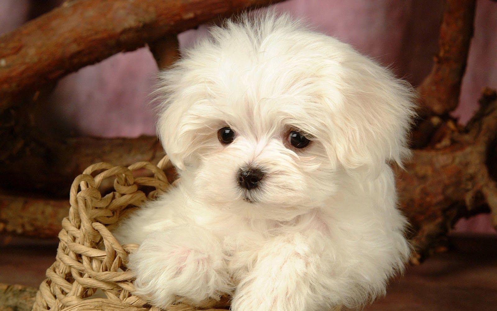 Cute Dogs Maltese Puppy Cute White Maltese Puppy Cute White