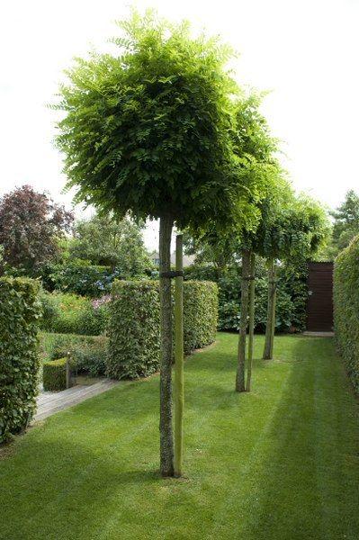 le robinia pseudoacacia 39 umbraculifera 39 est un arbre parfaitement adapt pour cr er de l 39 ombre. Black Bedroom Furniture Sets. Home Design Ideas