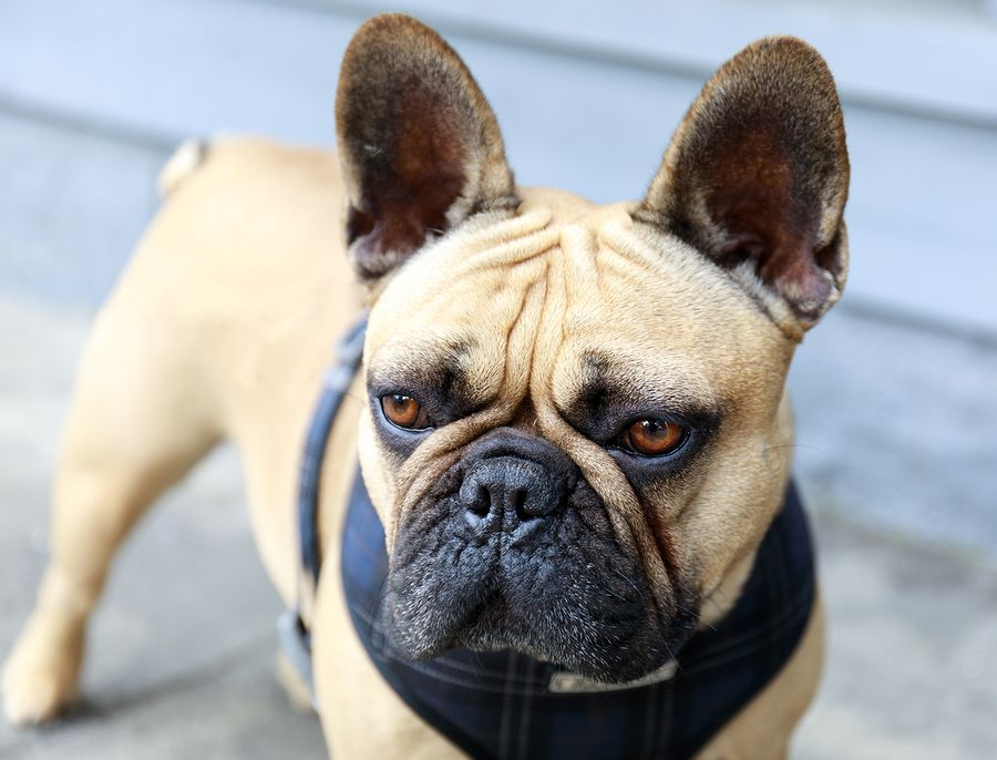 A comprehensive resource page for french bulldog
