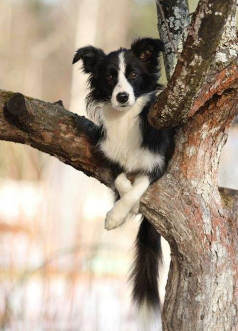 Pin by Rita Leydon on It's a Dogs Life. Herding dogs