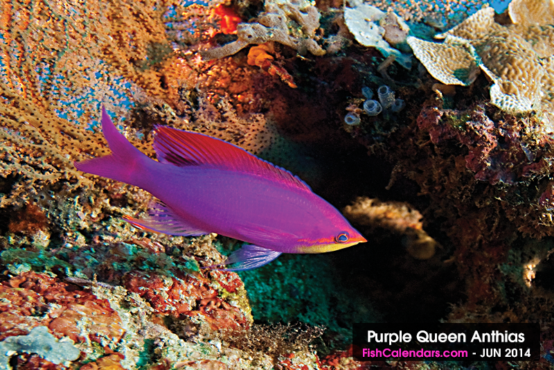 Purple Queen Anthias - This is a male trying to attract a female. This photograph was taken diving near Apo Island, Negros Oriental Is., Philippines and is the featured tropical fish for the month of June 2014.  Length: 3'